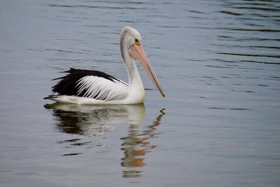 Australian Pelican oder Brillenpelikan - Limestone Coast bei Port Macdonnell - South Australia
