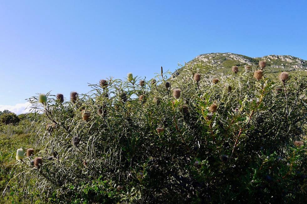 Banksia Büsche - Fitzgerald River National Park -Western Australia