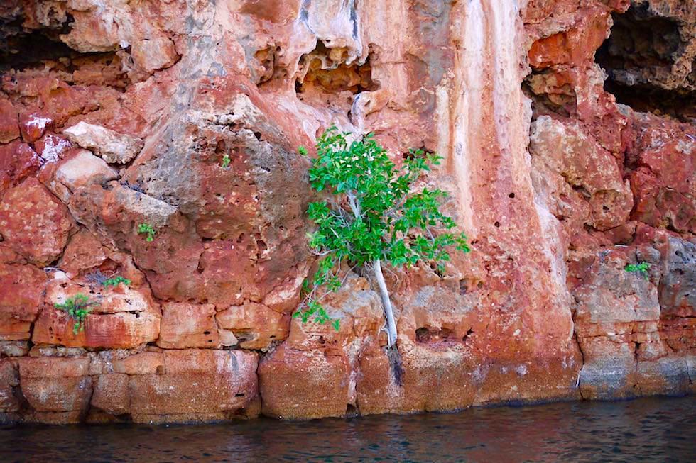 Baum an Felswand - Yardie Creek - Cape Ramge National Park - Western Australia
