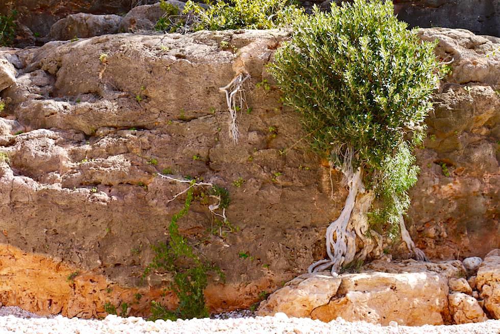 Typischer Baum oder Busch - Baum - Mandu Mandu Gorge Walk - Cape Range National Park - Western Australia