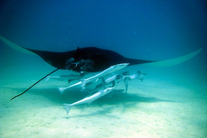 Schnorcheln mit Manta Rochen - Gigantische Teufelsrochen ziehen durchs Wasser - Western Austalia