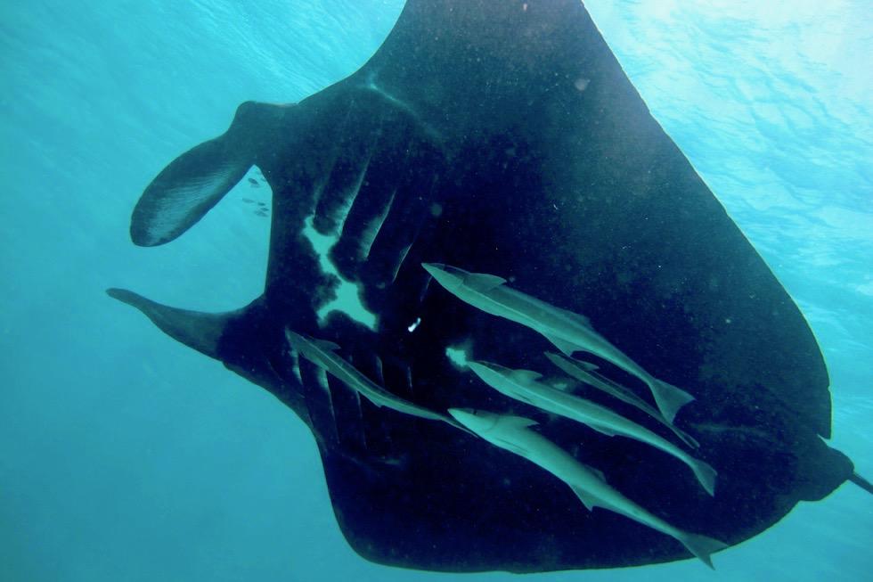 Außergewöhnlich: Black Manta Ray - Schnorcheln mit Mantas im Ningaloo Reef - Western Australia