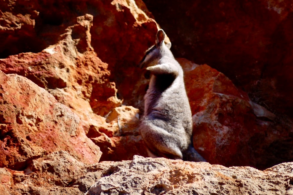 Black-footed Rock Wallaby - Yardie Creek - Western Australia