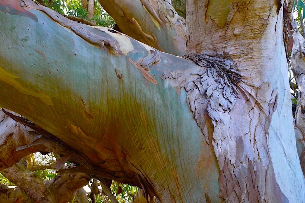 Wolley Lake - Blauer Eukalyptus - Beachport - South Australia