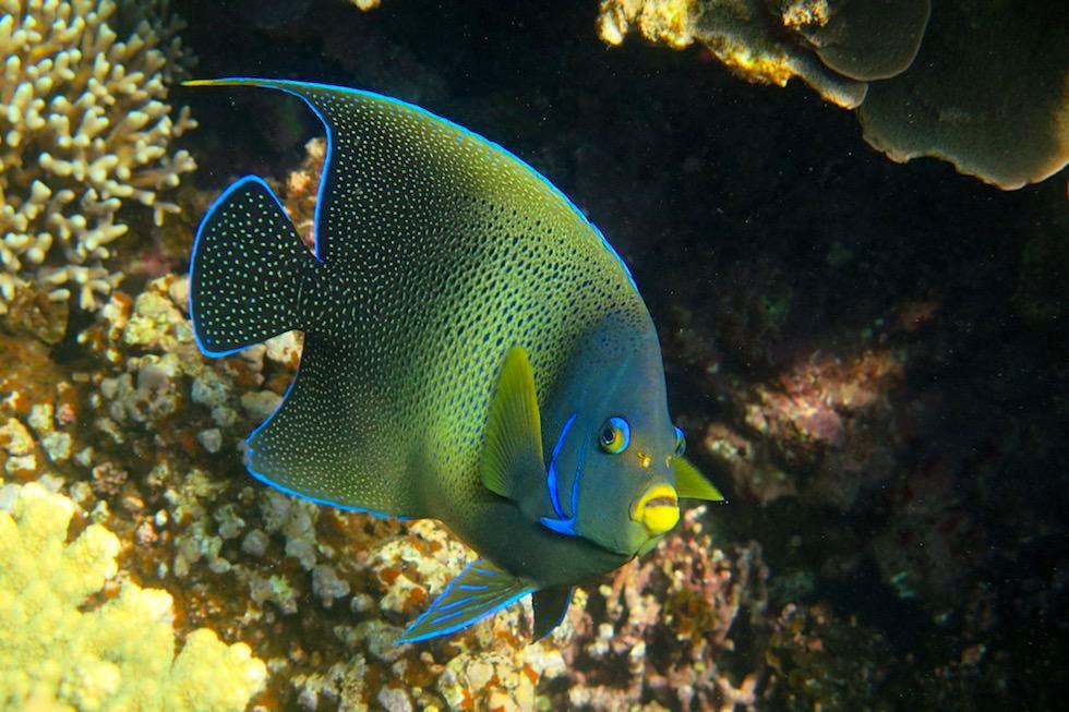 Blauer Kaiserfisch - Ningaloo Reef beim Cape Range National Park - Western Australia