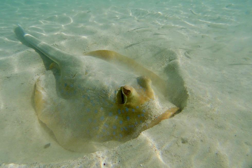 Ningaloo Reef Unterwasserwelt - Blaupunkt Rochen - Cape Range National Park - Western Australia