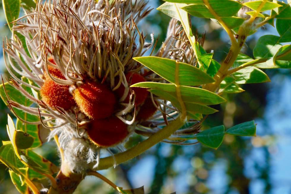 Vertrocknete Blüte & Samen der Banksia - Fitzgerald River National Park - Western Australia