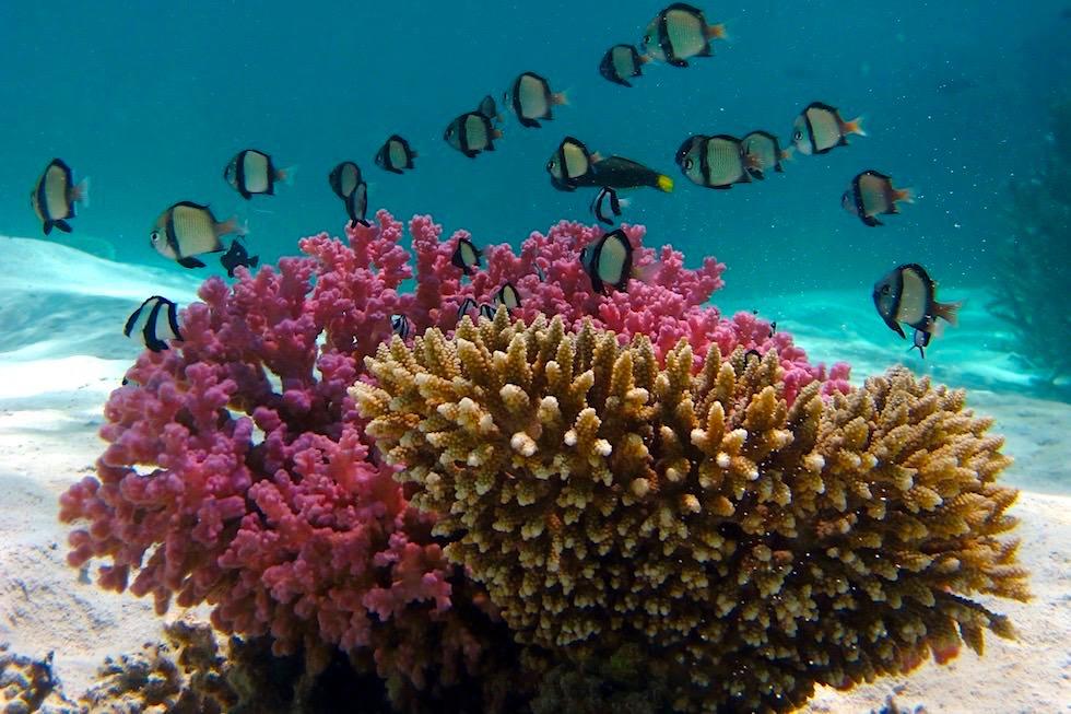 Schnorcheln mit Mantas - Coral & Damselfish oder Preußenfische - Ningaloo Reef - Western Australia