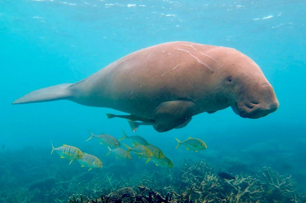 Lustig aussehende Dugongs Seekühe - Ningaloo Reef & Coral Coast - Western Australia