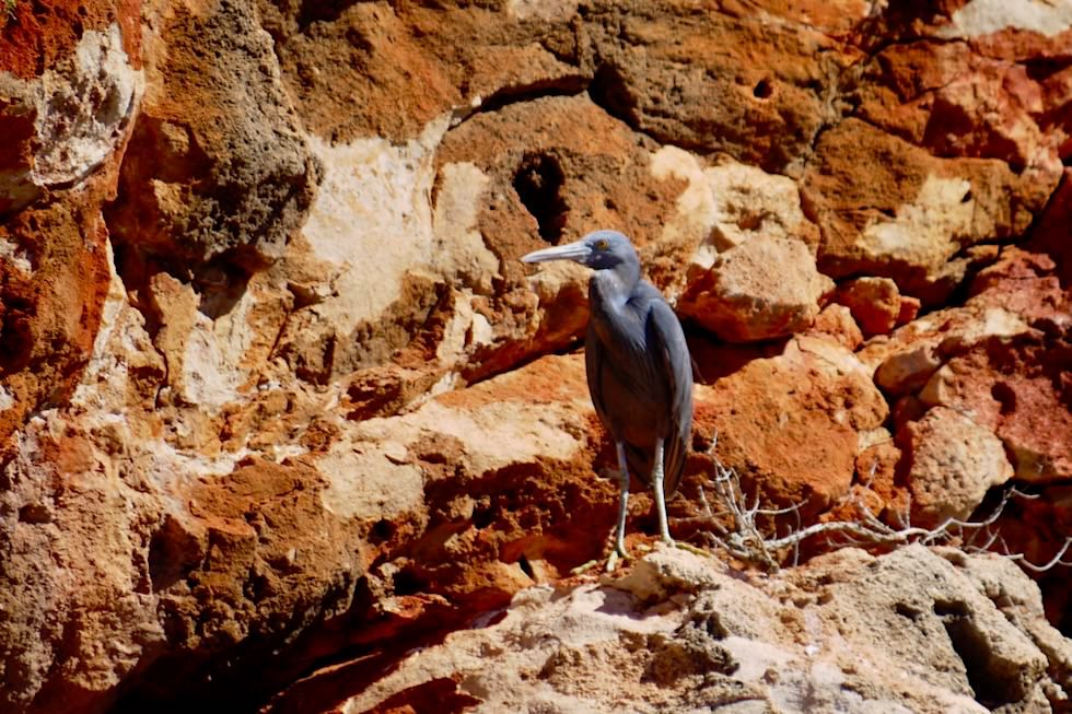 Eastern Reef Egret oder Riffreiher - Yardie Creek Gorge - Cape Range National Park - Exmouth - Western Australia