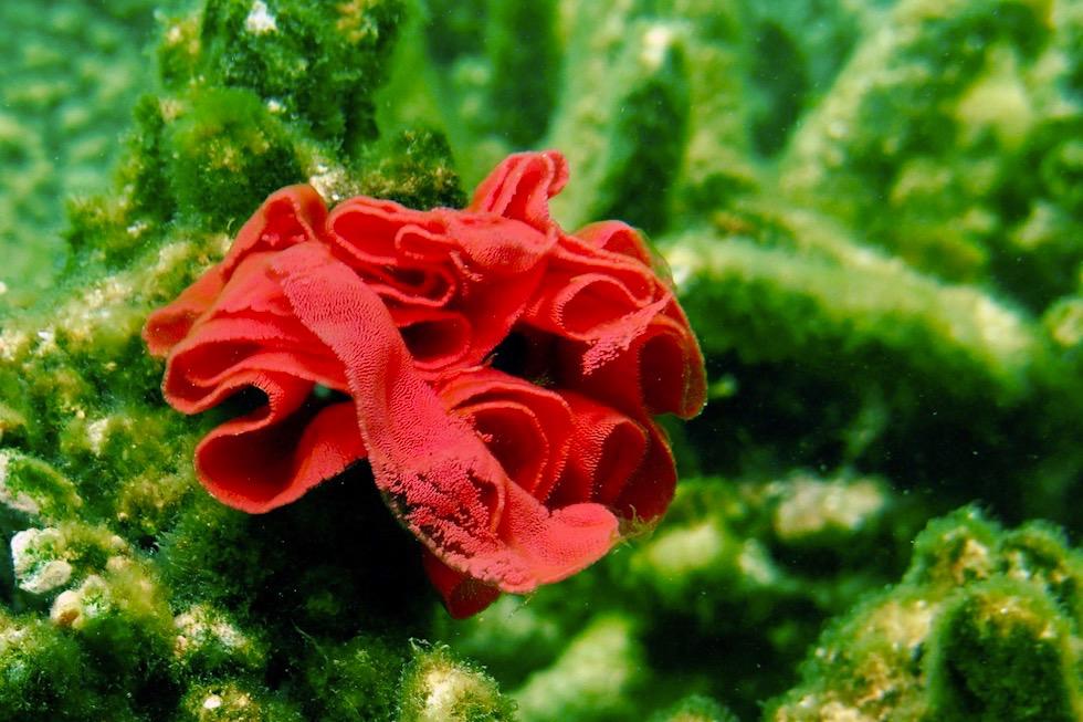 Unterwasserwelt Ningaloo Reef: Eiablage Spanische Tänzerin - Cape Range National Park - Western Australia