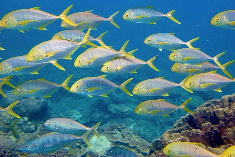 Bunte Fischschwärme im Ningaloo Reef bei Coral Bay - Western Australia