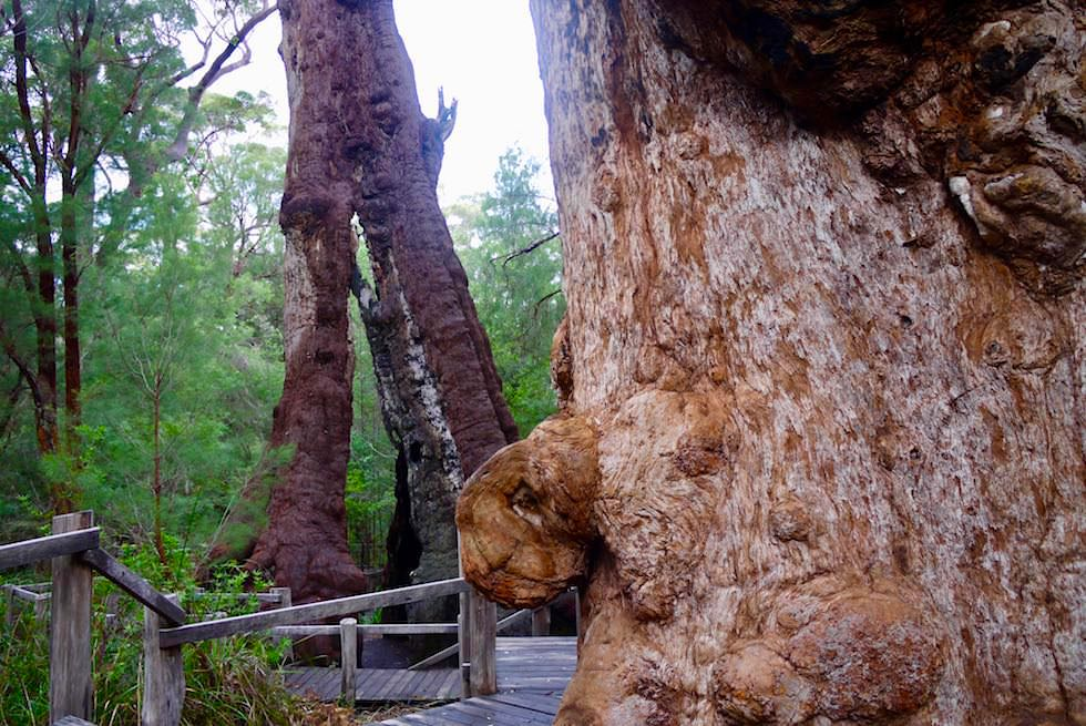 The Giant Tingle Tree - Valley of Giants - Western Australia