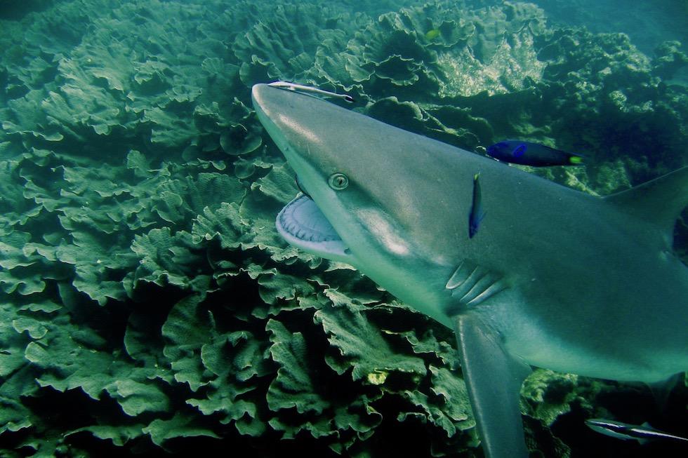 Grauer Riffhai bei der Körperhygiene - Putzerstation & Putzerfische - Ningaloo Reef bei Coral Bay - Western Australia