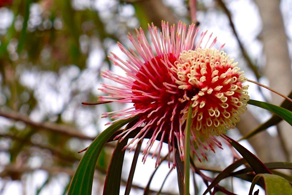 Hakea Laurina -Fitzgerald River National Park - Western Australia
