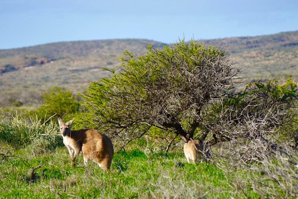 Kängurus - Cape Range National Park - Western Australia