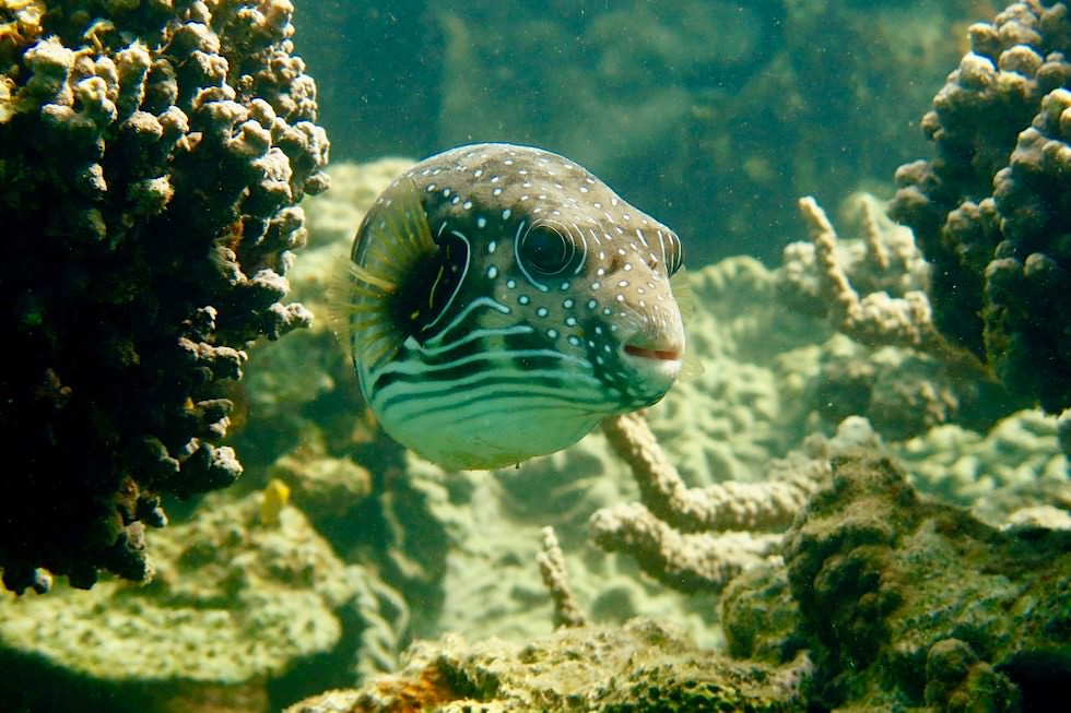 Kugelfisch - Ningaloo Reef beim Cape Range National Park - Western Australia