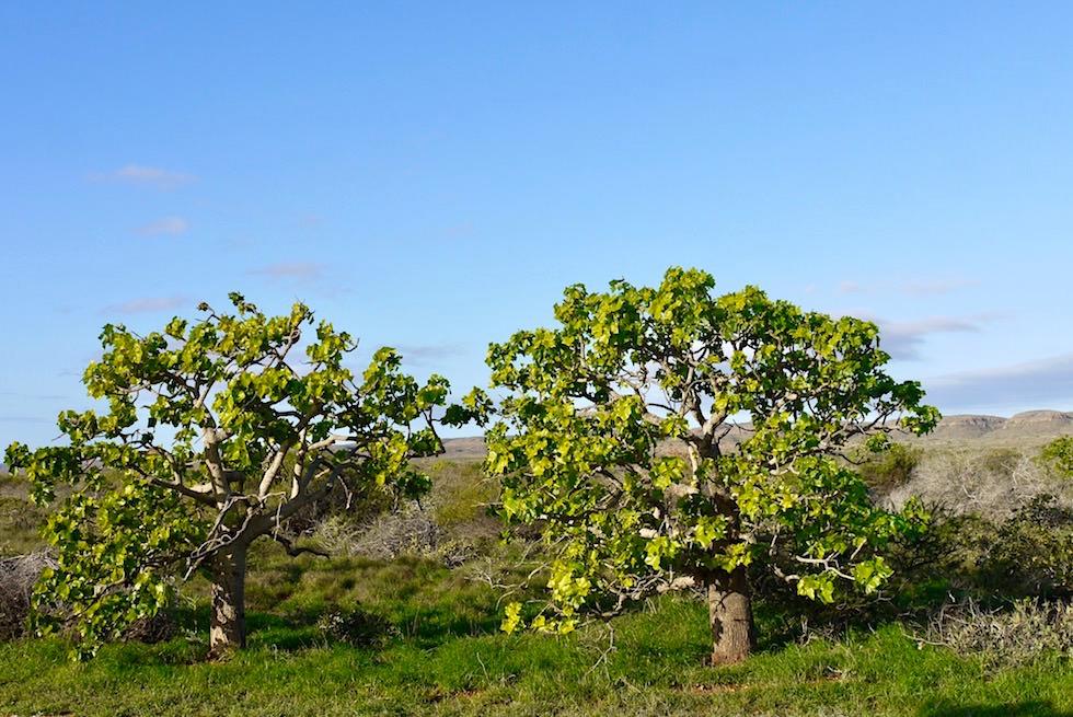 Kurrajong Tree - Cape Range NP - Western Australia