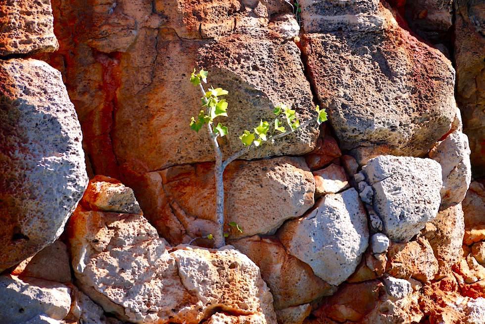 Junger Kurrajong Tree - Yardie Creek Gorge - Western Australia