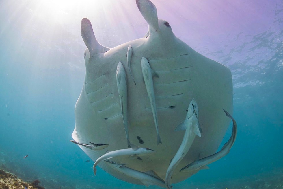 Schnorcheln mit Manatas - Manta Ray mit Schiffshaltern - Ningaloo Reef - Western Australia