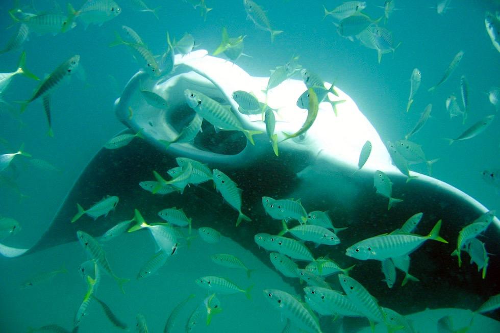 Faszination Schnorcheln mit Mantas - Manta Ray beim Salto schlagen - Western Australien