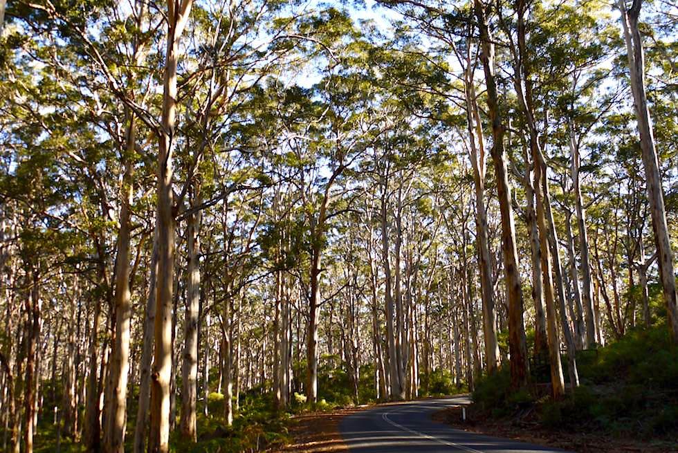 Karri Wälder an der Margaret River Caves Road - Western Australia