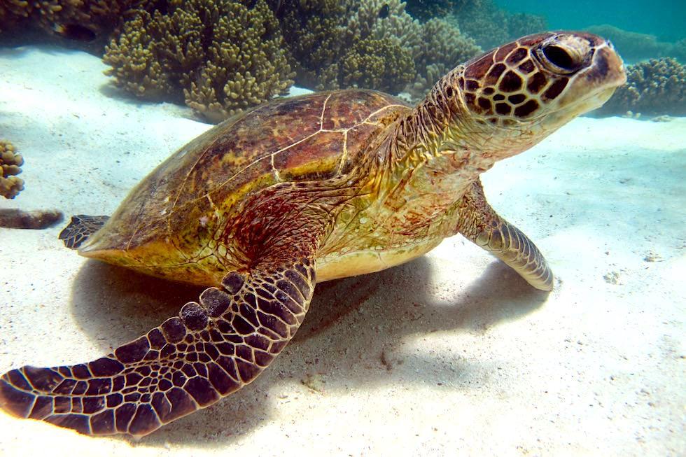 Unterwasserwelt Ningaloo Reef: Meeresschildkröte - Cape Range National Park - Western Australia