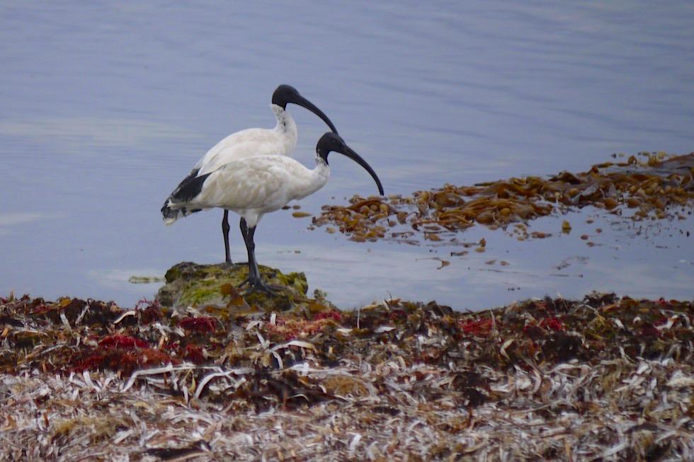 Molukkenibisse oder Australian White Ibis - Limestone Coast - Port Macdonnell - South Australia