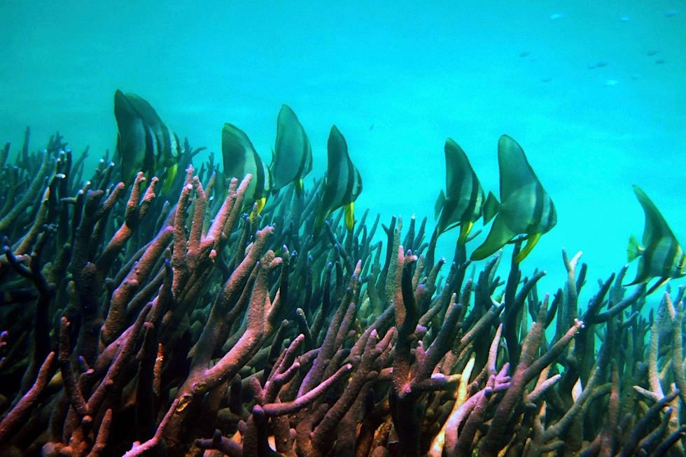 Ningaloo Reef - Spitzkopf-Fledermausfisch Schule - Western Australia