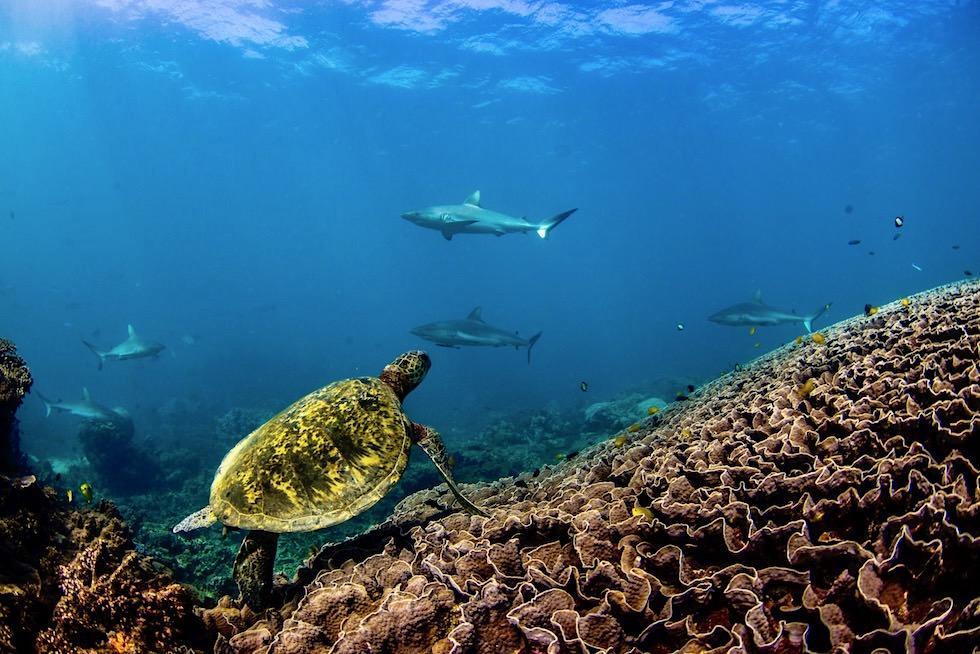 Schnorcheln mit Mantas: Ningaloo Reef - Riffhaie an einer Putzerstation an einem Korallenberg - Coral Coast - Western Australia