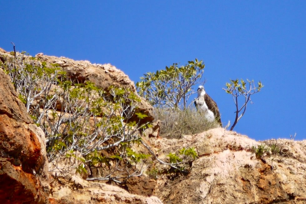 Osprey oder Fischadler - Yardie Creek Gorge - Cape Range National Park - Western Australia