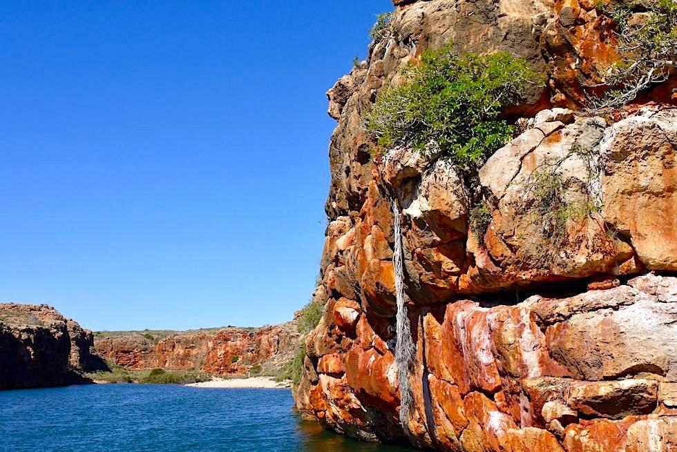 Pferdeschwanz-Wurzel - Yardie Creek Gorge - Western Australia