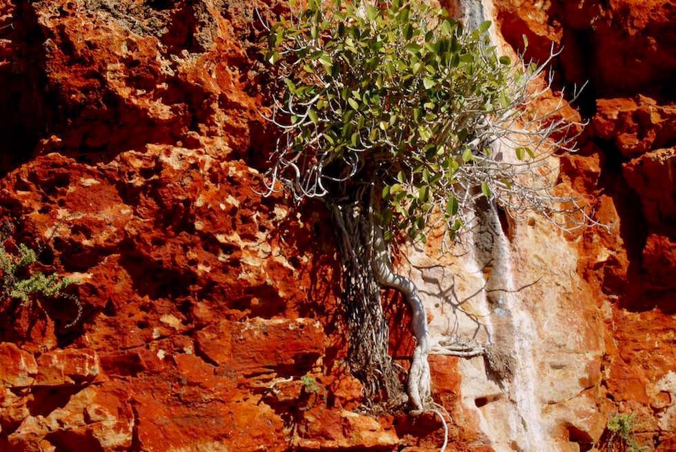 Pflanzen assimilieren sich an den Felsen - Yardie Creek Schlucht - Cape Range National Park - Western Australia