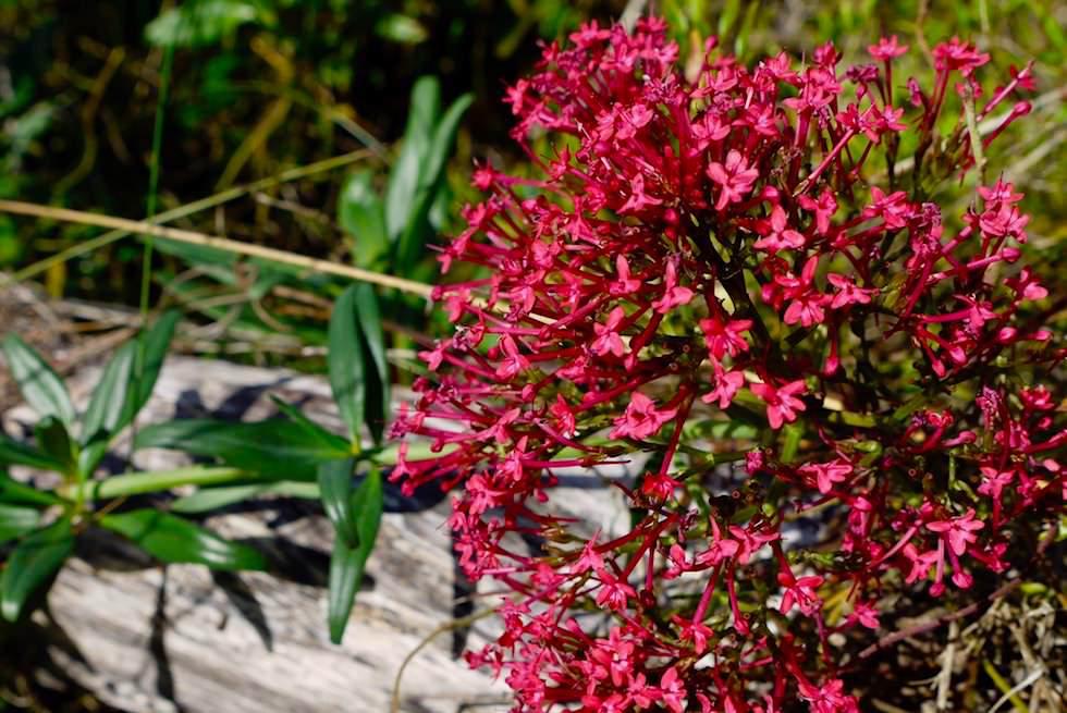 Blühende Pflanzen - Woolley Lake - South Australia