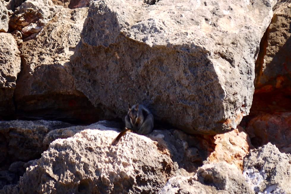 Gut versteckt: Rock Wallaby - Yardie Creek Gorge - Cape Range National Park - Western Australia