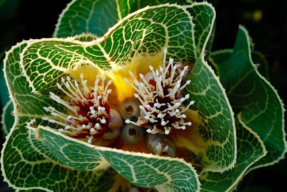 Royal Hakea - der Star in der Pflanzenwelt des Fitzgerald River National Parks - Western Australia