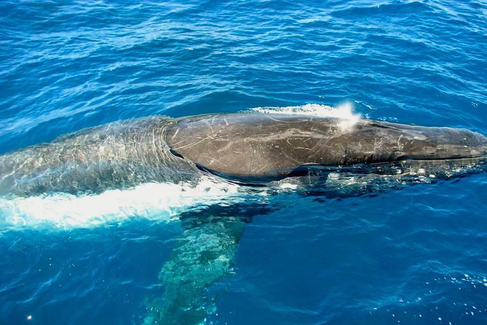 Schnorcheln mit Buckelwalen - Coral Bay - Western Australia