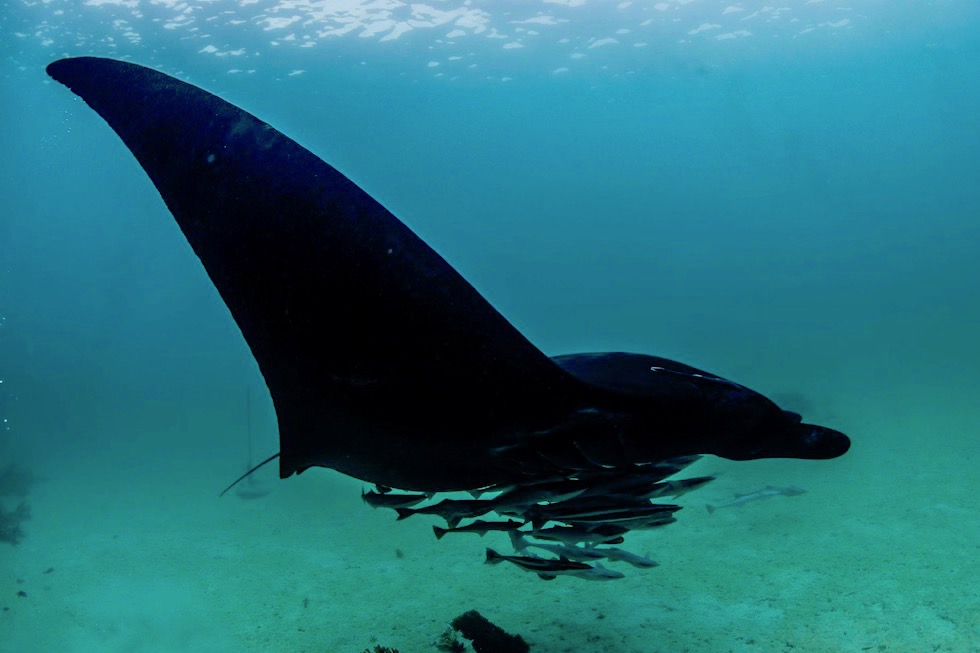Schnorcheln mit Mantas - Komplett Schwarzer Mantarochen - Ningaloo Reef - Western Australia