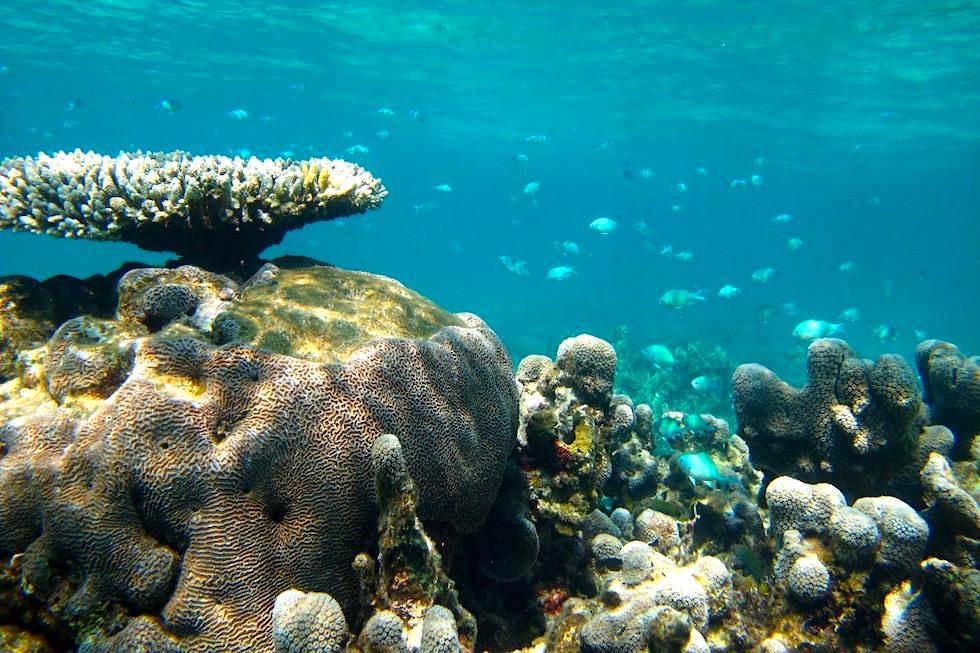 Schnorcheln in den Korallengärten des Ningaloo Reefs - Coral Bay - Western Australia