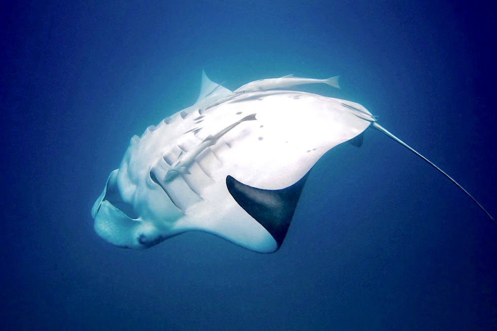 Faszination Schnorcheln mit Mantarochen - Ningaloo Reef & Coral Coast - Western Australia