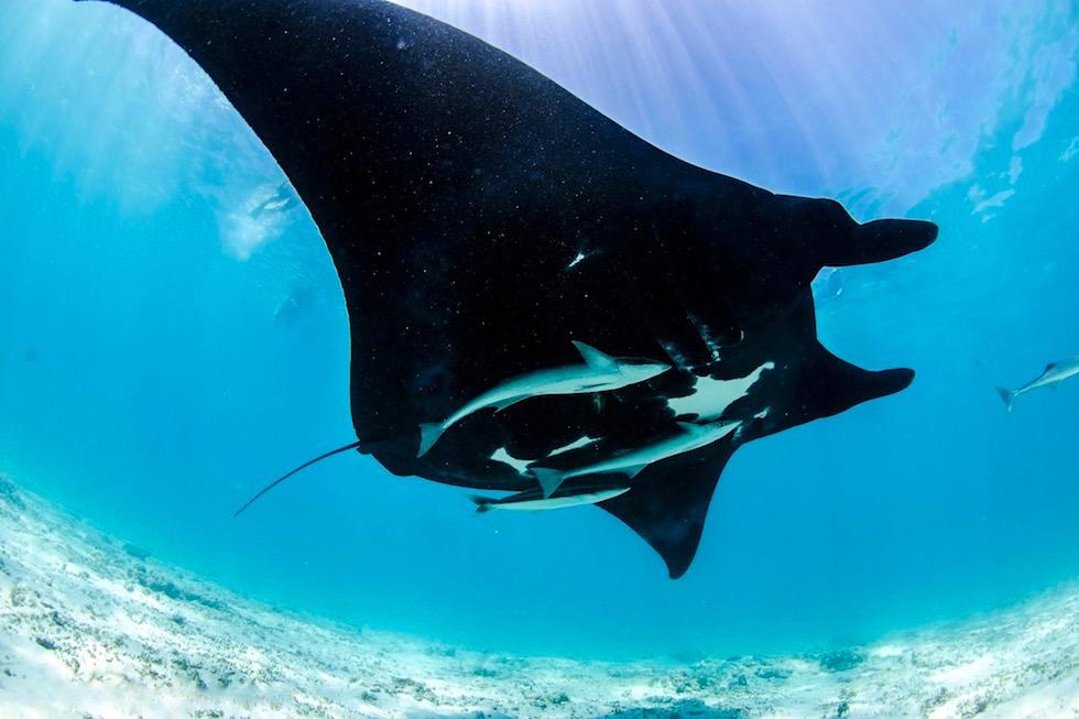 Schnorcheln mit Mantas - Stunning Black Manta - Ningaloo Reef - Western Australia