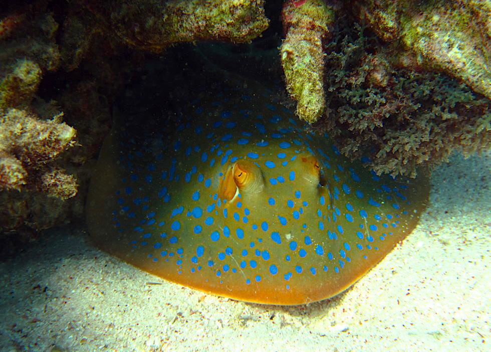 Schnorcheln mit Mantas - Blaupuktrochen oder Blue Dotted Stingray - Ningaloo Reef - Western Australia