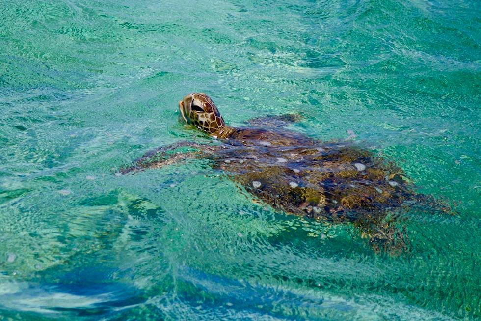 Schnorcheln mit Mantas - Grüne Meeresschildkröte oder Suppenschildkröte (Green Sea Turtle) - Ningaloo Reef - Western Australia