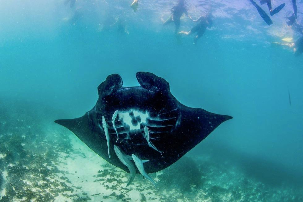Schnorcheln mit Mantas - Black Manta Ray -Ningaloo Reef bei Coral Bay - Western Australia