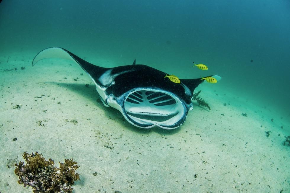Schnorcheln mit Mantas - Ningaloo Reef & Coral Coast - Western Australia