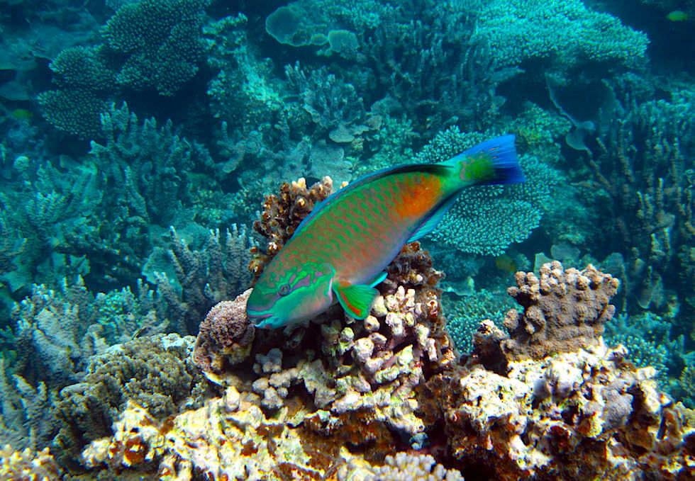 Schnorcheln mit Mantas - Papagaienfisch im Ningaloo Reef - Western Australia