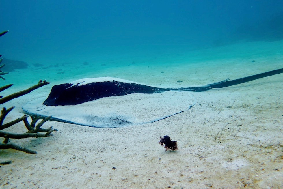 Schnorcheln mit Mantas - Smooth Stingray - Western Australia