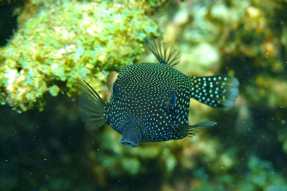 Schnorcheln mit Mantas - Weißpunkt-Kofferfisch oder White Spotted boxfish - Ningaloo Reef - Western Australia