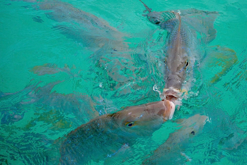 Spangled Emporer oder Snapper - Ningaloo Riff - Coral Bay - Western Australia