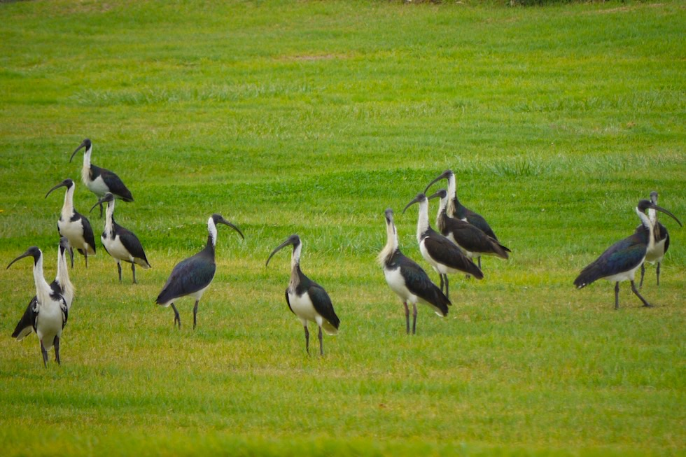 Straw Necked Ibis oder Stachelibisse - Port Macdonnell - Limestone Coast - South Australia
